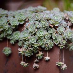 Image from http://i00.i.aliimg.com/wsphoto/v0/1315643776/Kk-font-b-succulents-b-font-original-place-of-pure-wild-meat-production-seeds-font-b.jpg.
