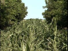 Agroforestry Practices - Alley Cropping - https://www.youtube.com/watch?v=b8Kwb5yInPM #AGROFORESTERIA #PERMACULTURA - Agricultura agriculture. http://vk_com/permaculture_ecobuilding?w=wall-81149991_33