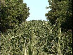 Agroforestry Practices - Alley Cropping - Center for Agroforestry 2004 - DVD AF1008 - University of Missouri Center for Agroforestry. Noncommercial use only,...