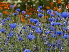 Blue cornflowers in a Gertrude Jekyll garden #blue #cornflowers #gardening #countryside #flowers