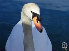 Cisne en el puerto de Altea