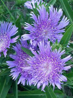 Stokesia Bluestone -- Bluestone Perennials