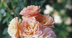 Typ: Kletterrose/Strauchrose/Alte Rose. Züchter: Turbat