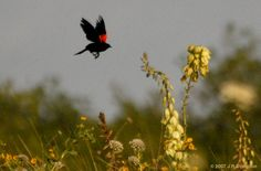 I adore this shot! Red winged blackbirds are sort of my totem animal, and the ethereal texture of the photograph combined with the plants and sky just make it perfect.