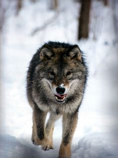 Wolves are beautiful.
