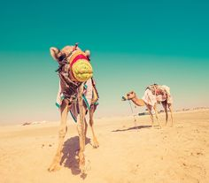 We took the family out for a camel ride in the desert in Qatar because, well, why not! The funniest thing was that Ethan's camel was really grumpy and would just make ridiculous noises the whole time. This pleased his sisters to no end! - Doha, Qatar - Photo from #treyratcliff Trey Ratcliff at http://www.StuckInCustoms.com