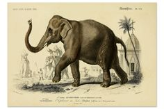 Elephant Poster, Elephant Art Print, Wild Animals, Animal Print, Safari Animal, Natural History Print From Vintage Scientific Illustration