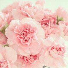Pink carnations w/ black & white vase Pink Carnations, Pink Peonies, Pink Roses, Pink Flowers, Black And White Vase, Pink Geranium, Floral Drawing, Geraniums, Bellisima