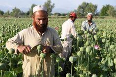 L'opium en chute libre mais l'héroïne abondante