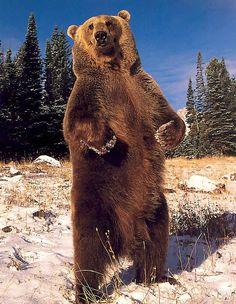 ☀Big bad brown bear - Pixdaus
