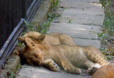 Adorable sleeping lions <3