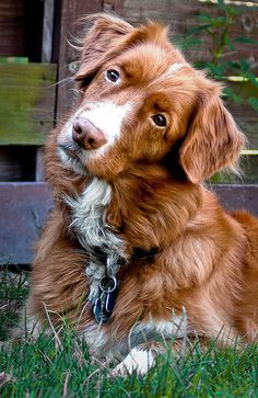 Duck tollers will forever be my favorite.. RIP mortimore <3