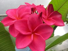 Plumeria Cutting Dolly (Special Price)