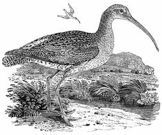 """The Curlew  A History of British Birds Volume II. Thomas Bewick  I remember being happy when reading this book. """"Each picture told a story; mysterious often to my undeveloped understanding and imperfect feelings, yet ever profoundly interesting"""""""