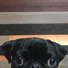 T-shirt, legging, hoodie for Pug lovers. Order here: https://www.sunfrog.com/JohnyD/pug-shirts #Pug