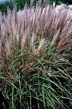 Miscanthus sinensis 'Kleine Silberspinne' [little silver spider] -- good for containers