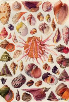 Shells of the World Double Sided Chart Spondylus Naticas Trochus Bishops Mitre