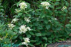 Hydrangéa paniculata Great star