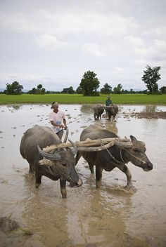 Water buffalo in action on a Heifer project in Cambodia
