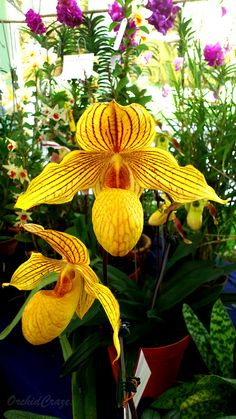 An Update On Orchid Show In Penang Flora Fest Composed By: Federation Of Malaya Orchid Society Fomos Sponsored By: Penang St. Unusual Flowers, Rare Flowers, Amazing Flowers, Beautiful Flowers, Orchid Plants, Exotic Plants, Orchids, Orquideas Cymbidium, Yellow Orchid