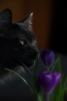 Cat Art...=^.^=...♥... By Artist Unknown...Crocus Black Cat...