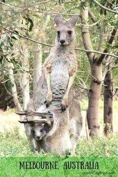 Shhh!!! I'm hiding! Mama and baby kangaroo seen with Echidna Walkabout Tours, near Melbourne, Australia | ©GreenCityTrips http://greencitytrips.com/destination/melbourne/