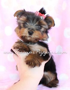 adorable yorkie puppy :)