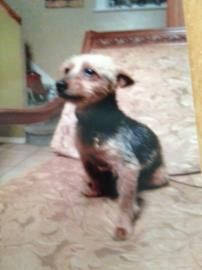 Animal ID	23089924  Species	Dog  Breed	Terrier, Yorkshire/Purebred  Age	11 years 2 months  Sex	Male  Date Lost	6/26/2014  Location Lost	Willow Ave, Hempstead  City, State	HEMPSTEAD, NY Size	S Color	Golden / Brown Declawed	No Report Type	Lost