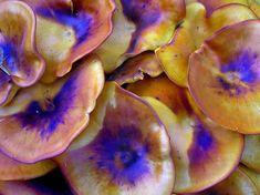Jack-O-Lantern mushroom (Omphalotus olearius)