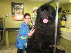Huge Newfoundland Dog Huge Dogs, Giant Dogs, I Love Dogs, Animals And Pets, Funny Animals, Cute Animals, Giant Animals, Strange Animals, Newfoundland Breed