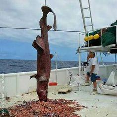 Goblin shark..