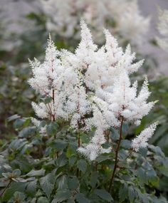 Monrovia's Rock & Roll® Astilbe details and information. Learn more about Monrovia plants and best practices for best possible plant performance. All Plants, Garden Plants, Monrovia Nursery, Flower Garden Plans, Garden Ideas, Monrovia Plants, Plant Catalogs, Astilbe, Flowering Shrubs