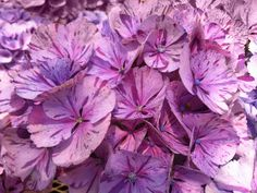 Buy a hydrangea (like this 'Peppermint Swirl') in bloom, if possible, so you can be sure you're getting the variety you want. Sometimes plants are mislabeled.