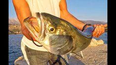 "Bluefish techniques & tips fishing greece ""Ψάρεμα γοφάρια"" Sport Fishing, Fishing Tips, Greece, Chop Saw, Fishing Pictures, Greece Country"