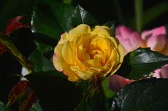 Lampion ruusu