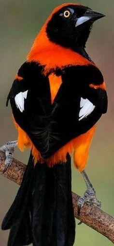 ▪ Un pájaro, en la lírica calma del mediodía. ~~~~~~~~ JUAN RAMÓN JIMÉNEZ. ~~~~~~~ ¤ Pájaro Troupial Naranjo. Se encuentra en Guyana, Brasil, Paraguay, Ecuador, Bolivia y Perú.