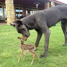 Great dane dog and deer fawn, nose to nose