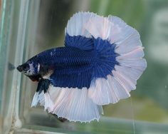 Blue BF Half-Moon Siamese Fighting Fish