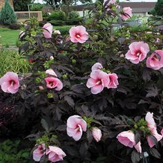 Plant Patent #20,443.What did we ever do before the Summerific™ series came along? Here at Wayside, we're thoroughly in love with these compact, super big-blooming Rose Mallows -- 'Summer Storm' and its friends, new 'Berrylicious,' 'Cranberry Crush,' and 'Jazzberry Jam'! After all, when you get a plant with an entirely new way of setting its blooms, that's really a garden event!Older Rose Mallow varieties set their flowers on the end of stems, but the Summerifics™ bloom all along ...