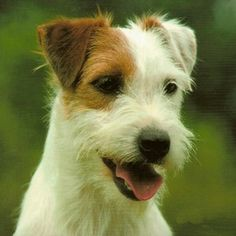 Parson Jack Russel Terrier. Looks like my Sunshine girl