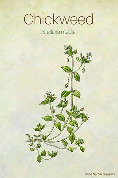 The Herb Chickweed (Stellaria media)
