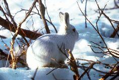 Immagine gratis su Pixabay - Lepre Artica, Coniglio Polar