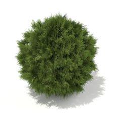 white cedar thuja occidentalis 1m 3d model max obj fbx c4d ma mb mtl 6