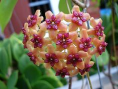 Hoya, my grandmother had one. Beautiful, wax flower. I'm in search of one for my new home