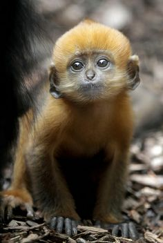 Orange Francois Leaf-monkey - Explore the World with Travel Nerd Nici, one Country at a Time. http://TravelNerdNici.com