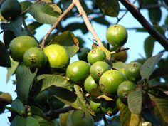 Strawberry Guava, Guava Fruit, Guava Juice, Guava Benefits, Health Benefits, Fruit Plants, Fruit Trees, Makawao Maui, Guava Plant