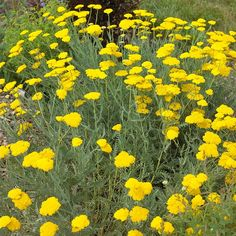 Yarrow If you have a sunny spot and well-drained soil, 'Moonshine' yarrow is practically indestructible. This easy-to-grow plant produces a plethora of golden flowers throughout the summer; the blooms are great for dried-flower crafts. Name: Achillea 'Moonshine'