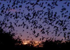 bats flying at night -