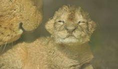 GaiaZOO - Leeuw met welp (geboren 23 april 2014 en overleden op 25 april 2014)