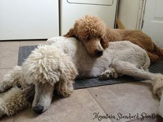 Standard poodle puppy love